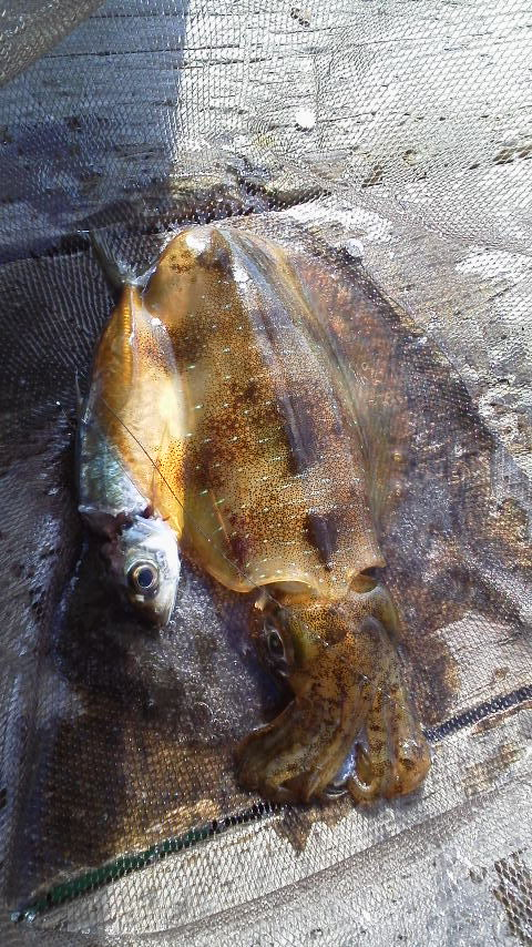 仮屋湾遊漁センターアオリイカ