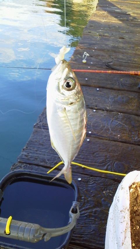 仮屋湾遊漁センターアジ