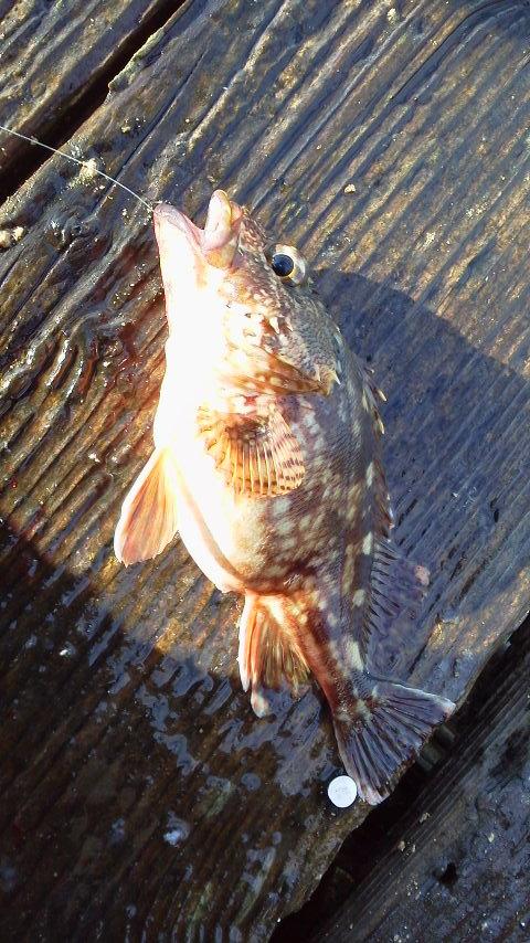 仮屋湾遊漁センターカサゴ