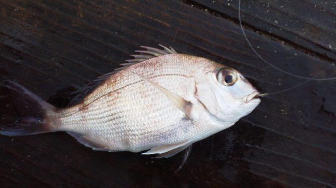 仮屋湾遊漁センター小鯛